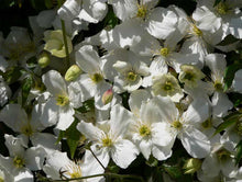 Load image into Gallery viewer, 1 Clematis montana 'Grandiflora' Alba 2-3ft in 2L Pot - White Flowers Climber
