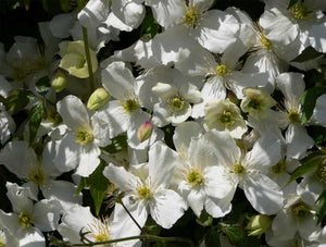 1 Clematis montana 'Grandiflora' Alba 2-3ft in 2L Pot - White Flowers Climber