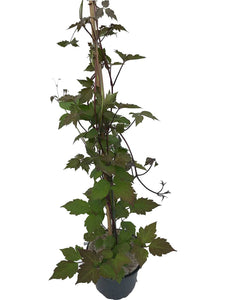 3 Clematis Montana Rubens - Climbing Plant - 2-3ft in 2L Pot