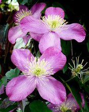 Load image into Gallery viewer, 1 Clematis montana rubens Tetrarose - Climbing Plant - 2-3ft in 2L Pot