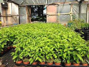 50 Portugal Portuguese Laurel Hedging in Pots apx 20-30cm tall Prunus Lusitanica