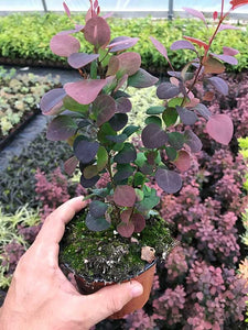 25 Berberis thunbergii atropurpurea (Japanese barberry) Purple - 20-30cm Tall