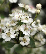 Load image into Gallery viewer, 100 Hawthorn Hedging 30-50cm,Crataegus, Quickthorn,Whitethorn,Native Hedge
