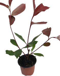 20 Photinia Red Robin Hedging Plants - approx 20-30cm Tall in Pots