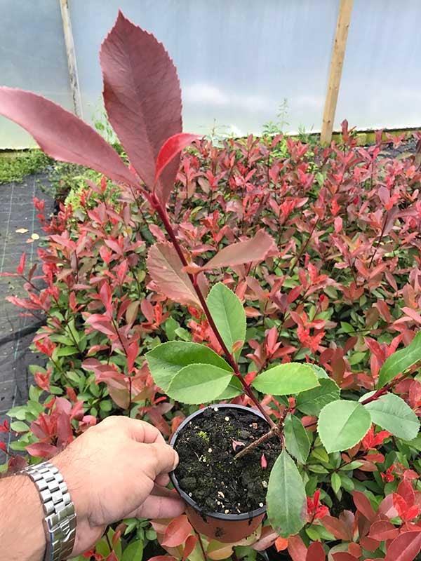 40 Photinia Red Robin Hedging Plants - approx 20-30cm Tall in Pots