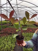 Load image into Gallery viewer, 50 Photinia Red Robin Hedging Plants - approx 20-30cm Tall in Pots