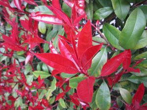 20 Photinia Little Red Robin - Grow as Shrub or Hedging - 20-30cm Tall