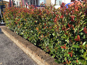 50 Photinia Red Robin Hedging Plants - approx 20-30cm Tall in Pots