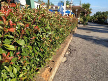 Load image into Gallery viewer, 20 Photinia Little Red Robin - Grow as Shrub or Hedging - 20-30cm Tall