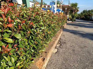 10 Photinia Little Red Robin - Grow as Shrub or Hedging - 15-20cm Tall