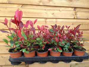 20 Photinia Red Robin Hedging Plants - approx 20cm Tall in Pots