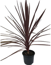 Load image into Gallery viewer, 2 Cordyline australis 'Red Star' Palm - 40-60cm Tall - 2L Pot
