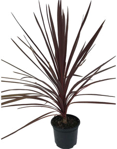 2 Cordyline australis 'Red Star' Palm - 40-60cm Tall - 2L Pot