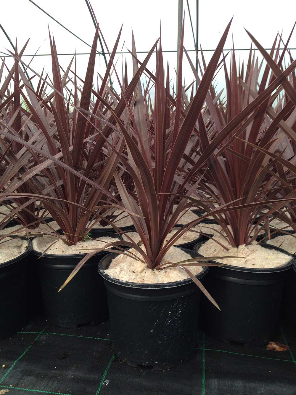2 Cordyline australis 'Red Star' approx 30cm tall well estalished in 3L Pot