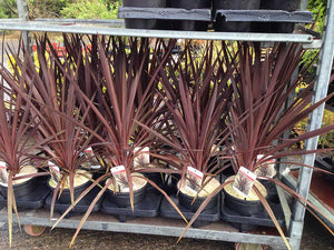 3 Cordyline australis 'Red Star' Palm - 40-60cm Tall - 2L Pot