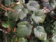 Load image into Gallery viewer, 2 RUBUS Tricolor in 2L Pots - (Seconds) Evergreen Low Growing Ground Cover Plant