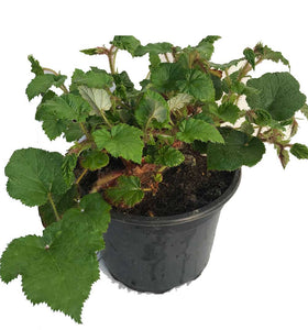 2 RUBUS Tricolor in 2L Pots - (Seconds) Evergreen Low Growing Ground Cover Plant