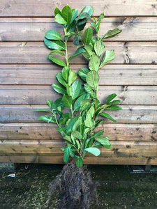 10 Cherry Laurel Hedging - Apx 3-4ft (90-120cm) - Prunus Rotundifolia - Grade A