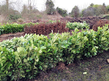 Load image into Gallery viewer, 5 Cherry Laurel Hedging - 2-3ft Multi-Stem - Grade A - Prunus Rotundifolia