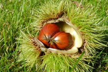 Load image into Gallery viewer, 20 Sweet Chestnut Trees - Apx 40-60cm - Castanea Sativa Hedging - Edible Nuts