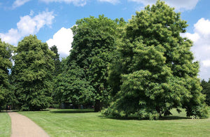 3 Sweet Chestnut Trees - 60-90cm - 2-3ft - Castanea Sativa Hedging - Edible Nuts