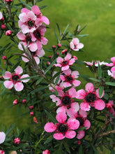 Load image into Gallery viewer, 3 Tea Tree Plants - Leptospermum scoparium 'Martini' - Red/Pink in Pots