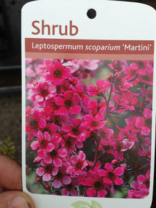 3 Tea Tree Plants - Leptospermum scoparium 'Martini' - Red/Pink in Pots