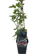 Load image into Gallery viewer, 1 Thornless Blackberry 'Evergreen' Plants - 40-60cm Tall - 2L Pot - Rubus Fruticosus
