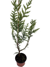 Load image into Gallery viewer, 20 THUJA plicata Atrovirens - western red cedar - 20cm Fast Growing Hedging