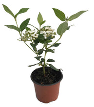 Load image into Gallery viewer, 15 Viburnum tinus - Apx 15cm Tall in Pots - Laurustinus - Evergreen Hedging