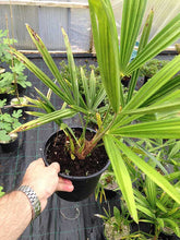 Load image into Gallery viewer, 1 Trachycarpus fortunei Palm Tree in 2L Pots - Hardy