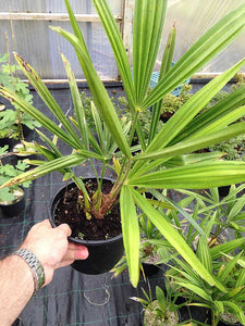1 Trachycarpus fortunei Palm Tree in 2L Pots - Hardy