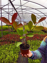 Load image into Gallery viewer, 40 Photinia Red Robin Hedging Plants - approx 20-30cm Tall in Pots
