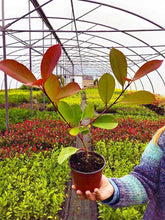 Load image into Gallery viewer, 30 Photinia Red Robin Hedging Plants - approx 20-30cm Tall in Pots