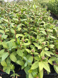 10 Viburnum tinus - Apx 10-15cm Tall in Pots - Laurustinus - Evergreen Hedging