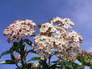 25 Viburnum tinus - Apx 20cm Tall in Pots - Laurustinus - Evergreen Hedging