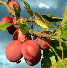 Load image into Gallery viewer, Victoria Plum Tree - Dwarf Variety Great for Smaller Gardens Apx 5-6ft- 3yrs Branched