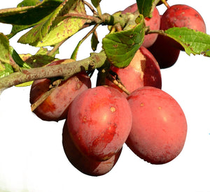Victoria Plum Tree - Dwarf Variety Great for Smaller Gardens Apx 5-6ft- 3yrs Branched