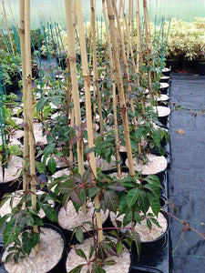 3 Virginia Creeper - Parthenocissus Engelmannii  - 2-3ft Tall in 2L Pot