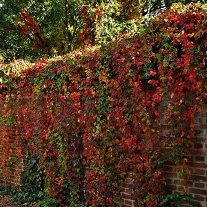 2 Virginia Creeper - Parthenocissus Engelmannii   - 2-3ft Tall in 2L Pots