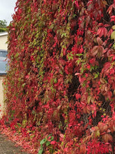 Load image into Gallery viewer, 3 Virginia Creeper - Parthenocissus Engelmannii  - 2-3ft Tall in 2L Pot
