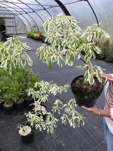 Wedding Cake Tree - Cornus controversa Variegata - 4 Litre Pot - 40-60cm Tall