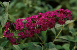 3 Buddleia 'Royal Red' Apx 30cm Tall in 10.5cm Pots Buddleja Butterfly Bush