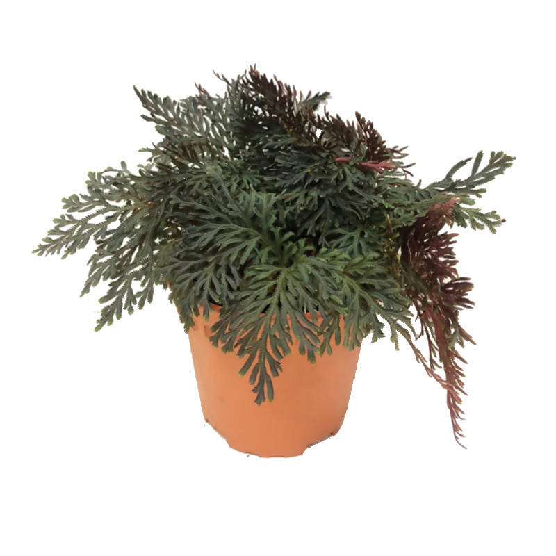 Selaginella erythropus (Mart.) Spring (Red Spikemoss) (0.18m)