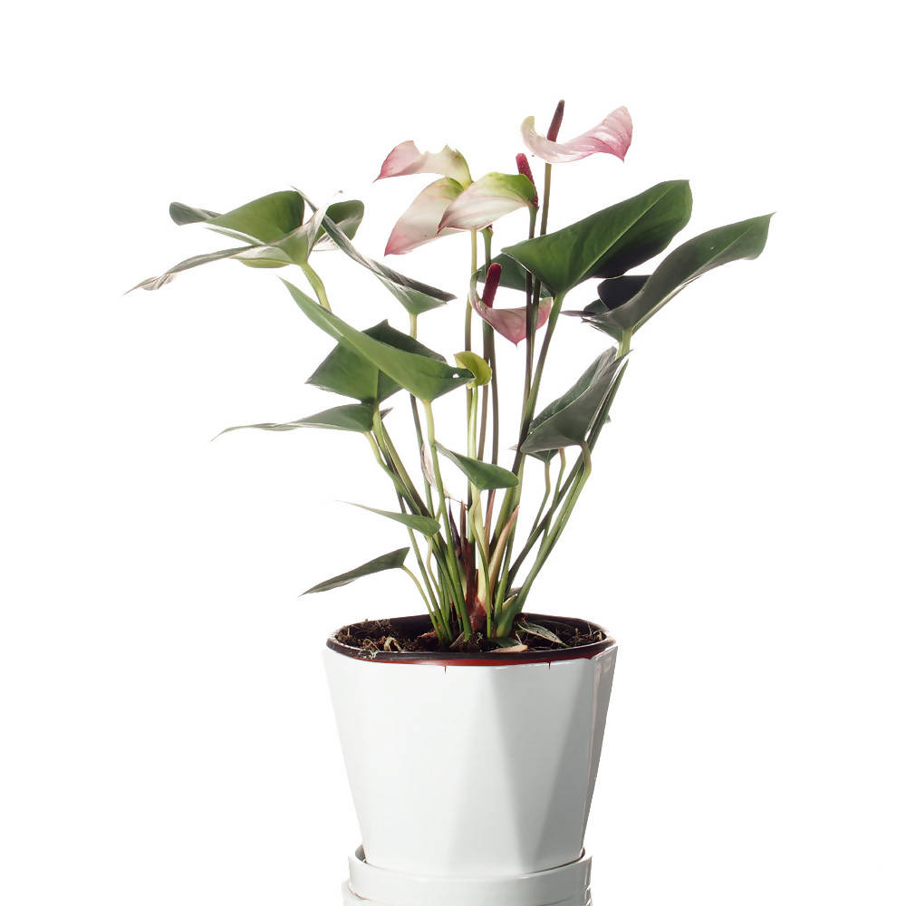 Anthurium Light Pink in ceramic pot