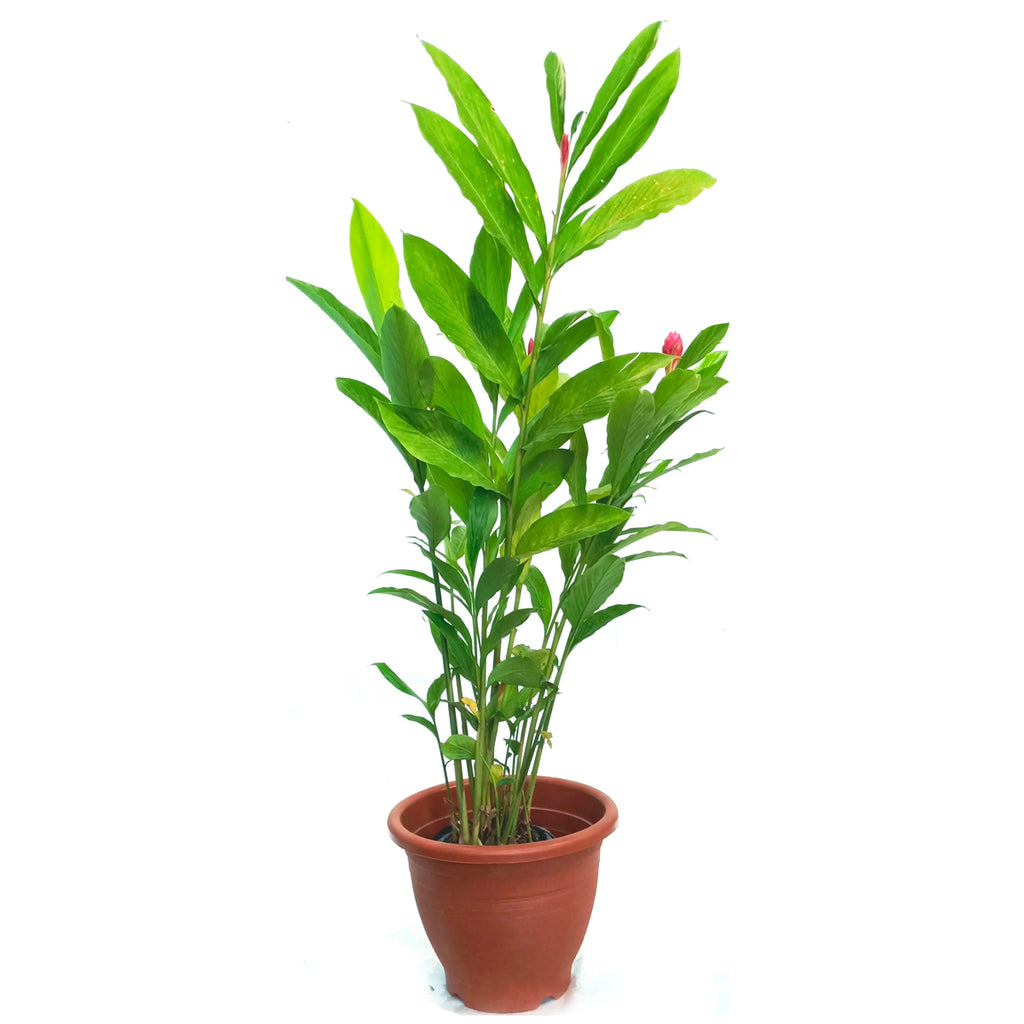 Alpinia purpurata, Red Ginger (0.6m)