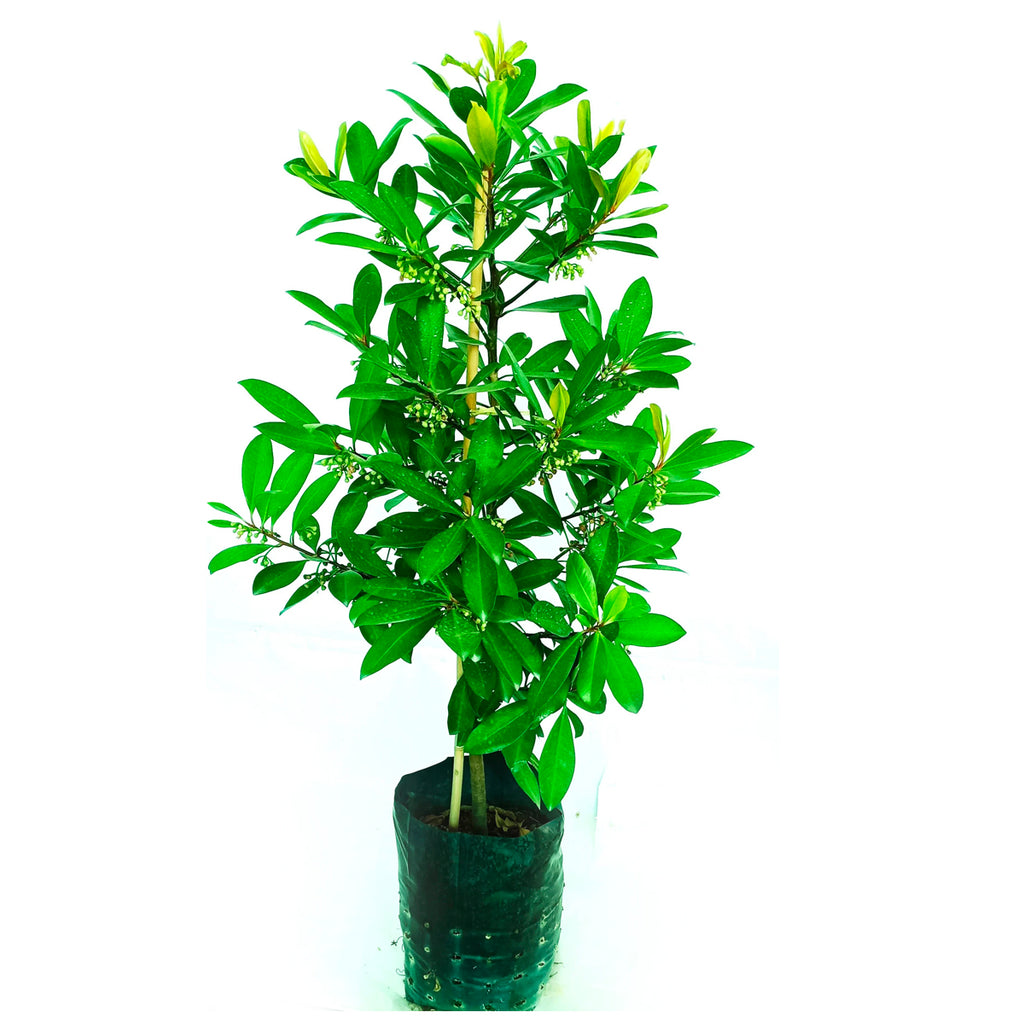 Ardisia elliptica, Coralberry in Bag (1m)