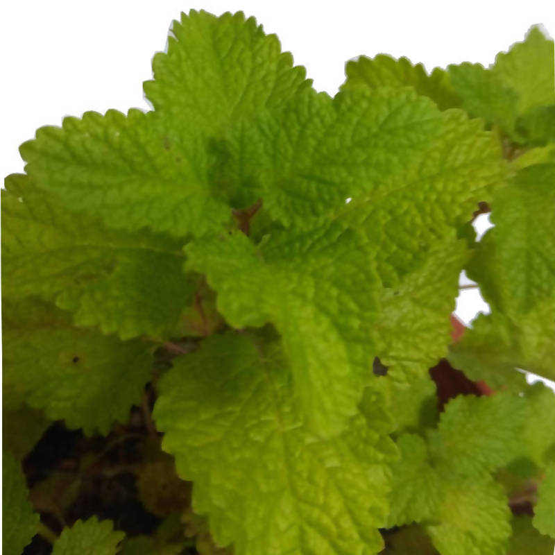 Melissa officinalis, Lemon Balm (0.3m)