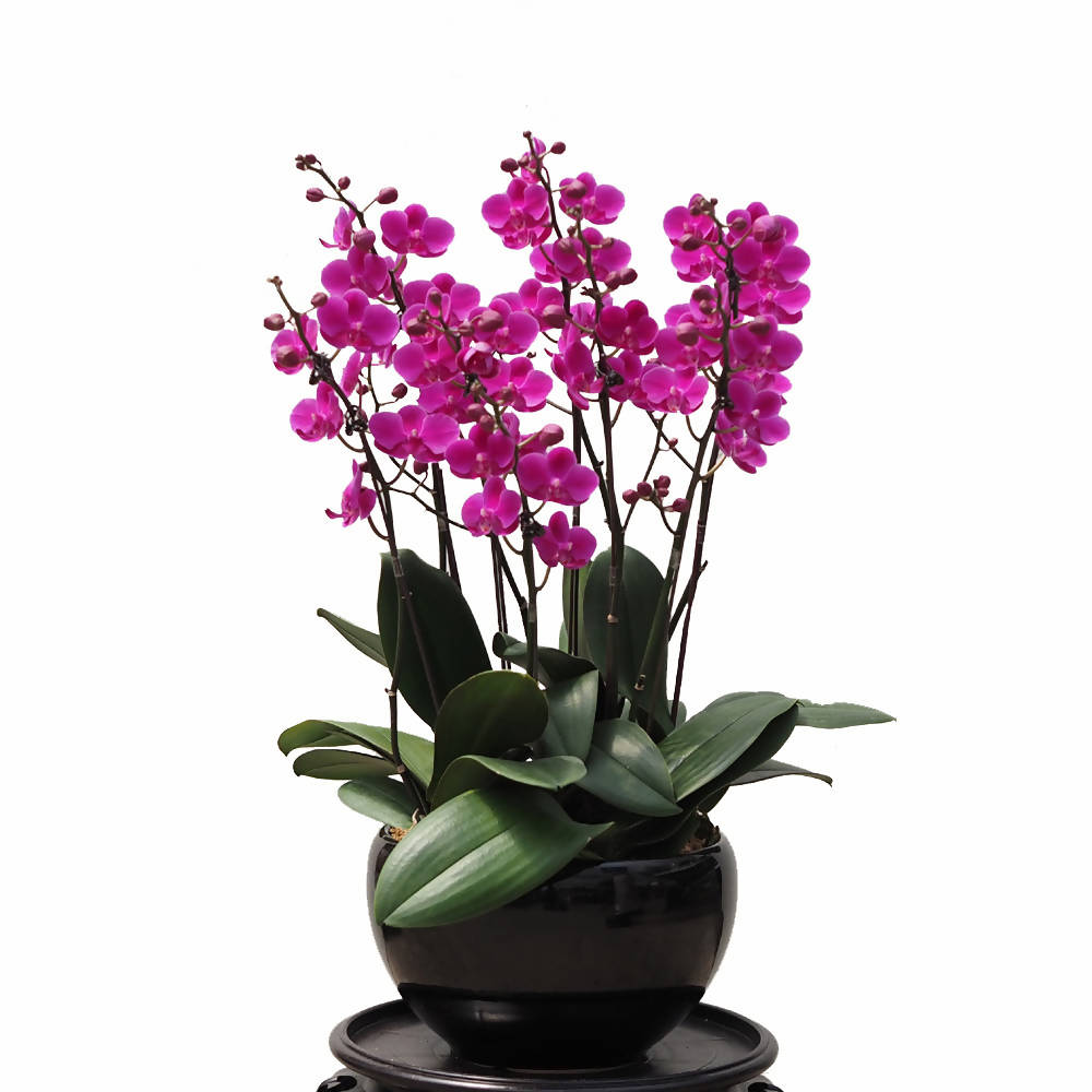 5 in 1 Phalaenopsis SQB in Ceramic Pot (0.55m)