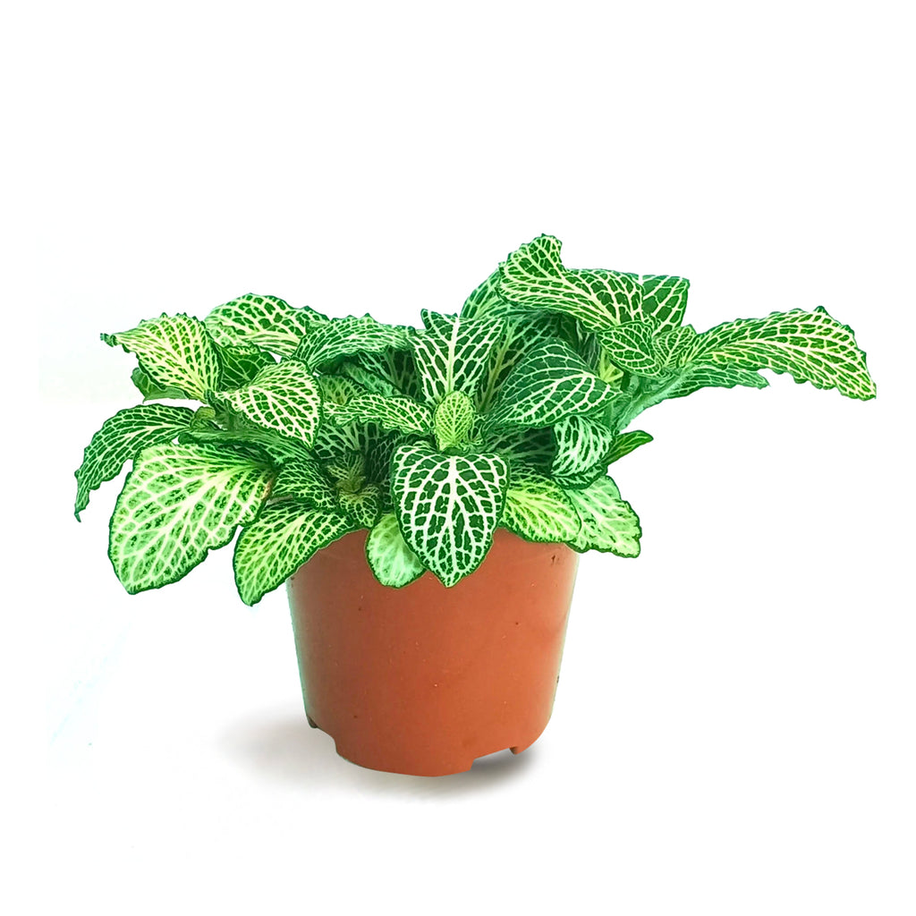 Fittonia green big leaf, Nerve Plant (8.5cm)